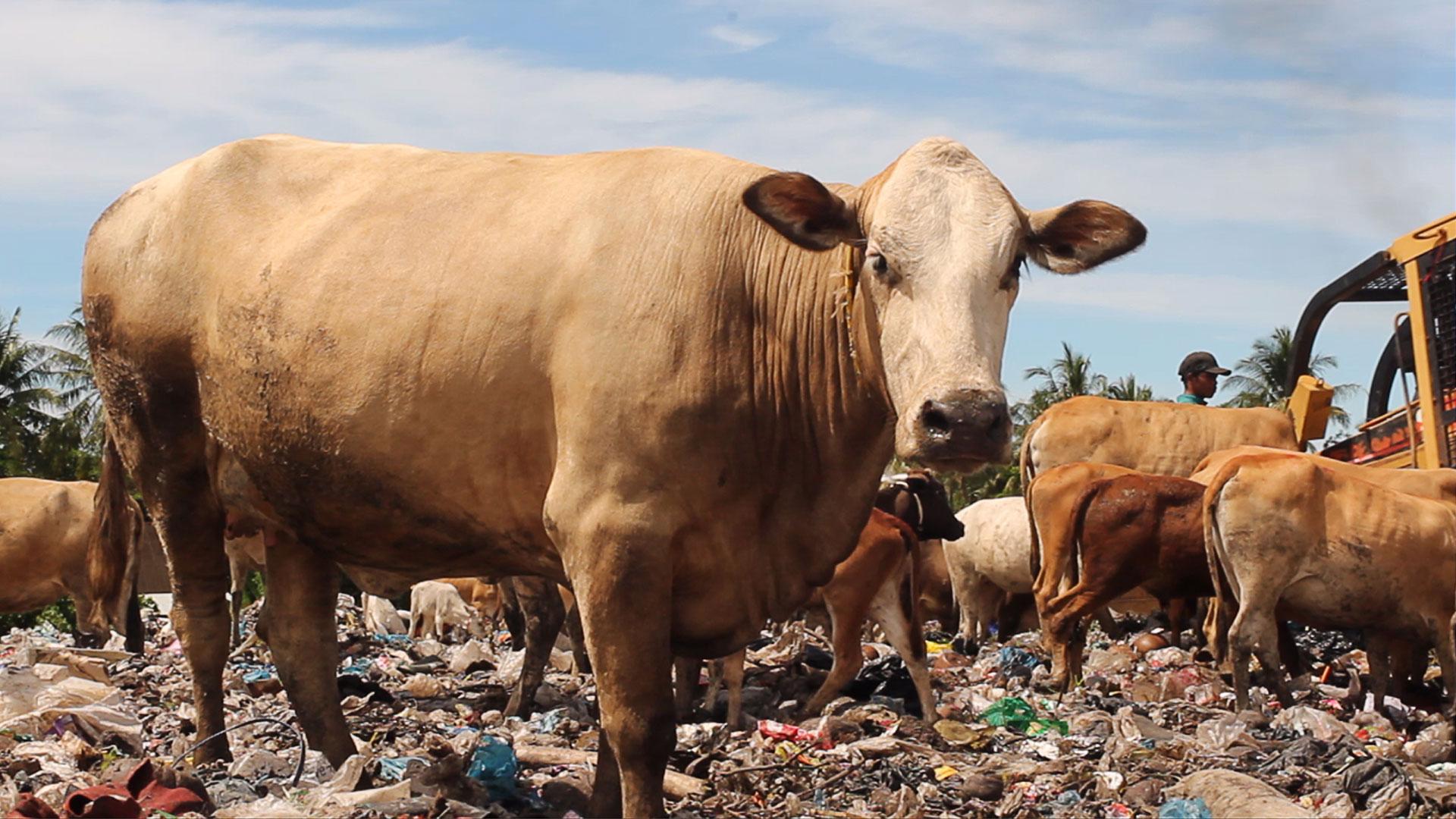 FFD 2019 - Dokumenter Pendek - Diary of Cattle